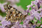 Painted lady butterfly on the Lilac in flower in May, France