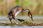 Great crested grebe standing on its nest Great Britain (Great Crested Grebe)