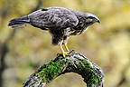 Western Steppe-Buzzard on branch Limousin France (Western Steppe-Buzzard)