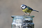 Blue Tit eating sunflower seeds in winter Limousin France (Blue tit)