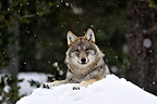 Wolf of Eurasia lying in snow in Sweden (Grey wolf)