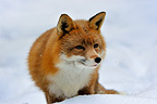 Red Fox in snow Hälsingland province Sweden (Red fox)