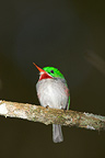 Narrow-billed Tody on a branch Dominican republic (Narrow-billed Tody)