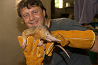 Exam of captived Hispaniolan Solenodon Dominican Republic (Hispaniolan Solenodon)
