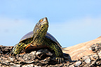 European Pond Turtle Kerkini lake Greece (European pond turtle)