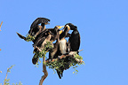 Great Cormorant fedding chicks Kerkini lake Greece (Great Cormorant)