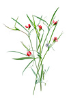 Grass pea fowers on white background