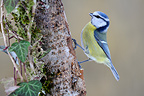 Blue Tit on a branch (Blue tit)