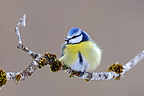 Blue tit in rest on a branch (Blue tit)