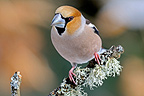 Hawfinch male on a branch with moss (Hawfinch)