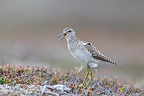 Wood Sandpiper crying (Wood Sandpiper)