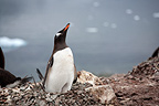 Gentoo Penguin on his nest in the Antarctic Peninsula (Gentoo penguin)
