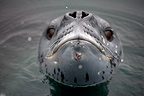 Leopard Seal at Port Lockroy in the Antarctic Peninsula (Leopard seal)