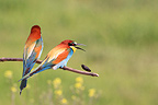 European Bee-eaters on a branch Kerkini lake Greece (European Bee-eater)