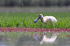Eurasian Spoonbill in flooded meadow Kerkini lake Greece (Eurasian Spoonbill)