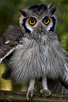 Young White-faced Scoops-Owl Cameroon (White-faced Scops-Owl)
