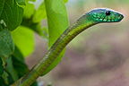 Portrait of Jameson's Mamba in foliage Cameroon