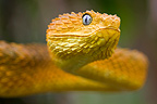 Portrait of Rough-scaled Bush Viper Cameroon