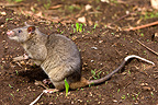 Gambian Rat in a field Cameroon (Gambian Rat )