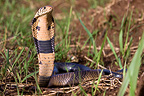 Black and white cobra standing in grass Cameroon