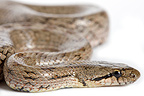 Southern smooth snake on white background