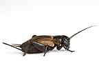 Field Cricket on white background