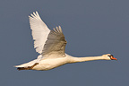 Mute Swan flying Camargue France (Mute Swan)