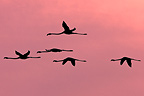 Rosy Greater Flamingoes flying Camargue France (Rosy Greater Flamingo)