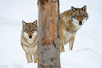 Wolves in snow National Park Bavarian Forest Germany (Common Grey wolf)