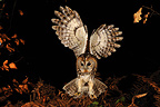 Tawny owl flying in forest Normandie France (Tawny Owl)