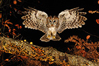 Tawny owl landing on a branch Normandie France (Tawny Owl)