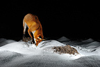 Red Fox digging snow Normandie France (Red fox)
