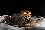 Red Fox and dead Marten in snow Normandie France (Red fox)