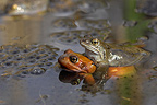 Pair of Common frogs mating spring Belgium