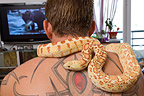 Man watching TV with his snake Pituophis