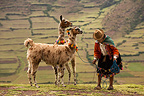 Peruvian woman with two speckled Lamas Peru (Llama)