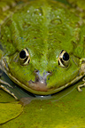 Close-up of Marsh frog on Fringed waterlily Belgium