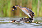 Great crested grebes mating on water GB (Great Crested Grebe)