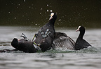 Male Common Coots fighting for territory on a lake (Common Coot)