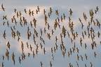 Colony of Dunlins in flight just before landing Brittany (Dunlin)