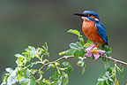 Male Kingfisher standing on a branch of hawthorn GB (Kingfisher)