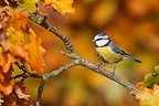 Blue tit standing on branch in autumn GB (Blue tit)