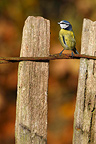 Blue tit standing on a fence in autumn GB (Blue tit)