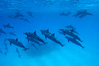 A socializing group of Spinner Dolphin Red Sea Egypt (Spinner dolphin )
