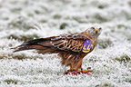 Red kite eating in a frozen meadow Great Britain (Red Kite)