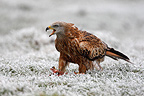 Red kite walking in a frozen meadow Great Britain (Red Kite)