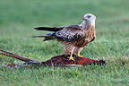 Red kite eating a feasant in a meadow Great Britain (Red Kite)