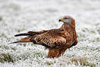 Red kite standing in a frozen meadow Great Britain (Red Kite)