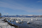 Colony of Whooper Swans on a frozen lake Japan (Whooper Swan)