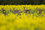Four European Roe Deer in a field of Turnip in Bavaria (Roe deer)